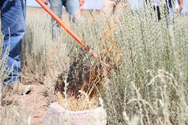 Competing with Cheat Grass and Wild Fires – How One Plant Could Level the Playing Field