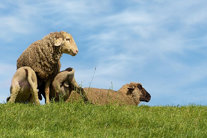 genetically modified sheep
