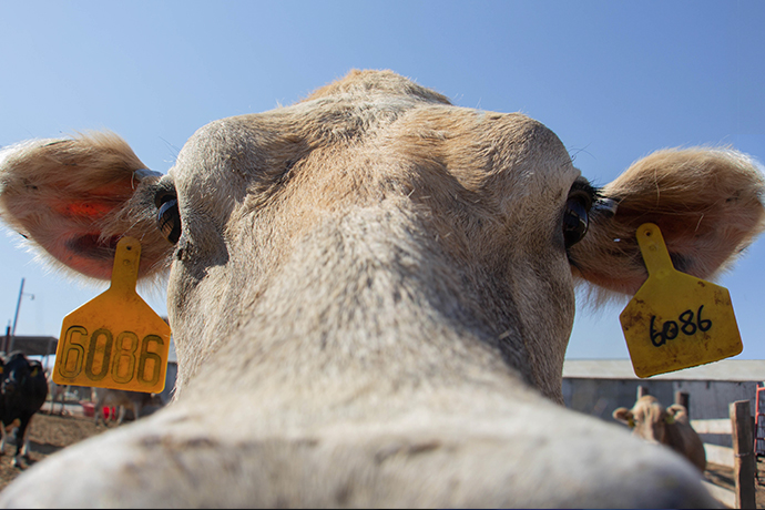 Utah State's Caine Dairy is Home to to the Number One College Dairy Herd