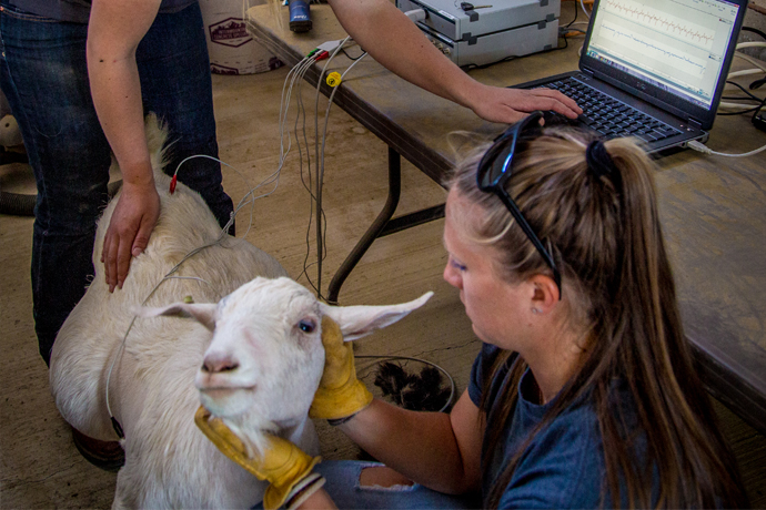 USU Scientists Develop New Goat Model to Study Heart Arrhythmia