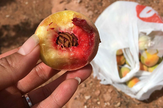 Meet the Woman Restoring Native American Peaches to the Southwest