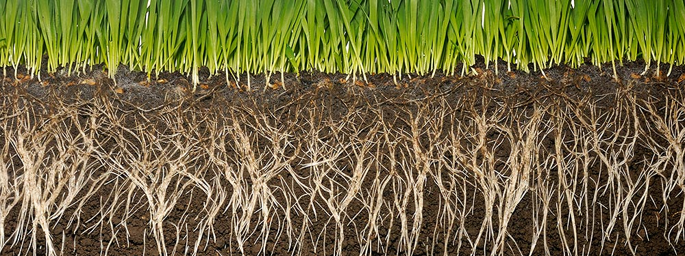 grass and roots in soil